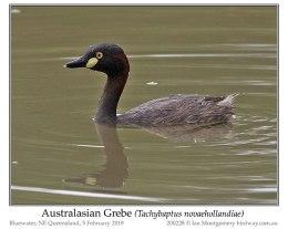 Ian's Bird of the Moment – AustralianGrebe
