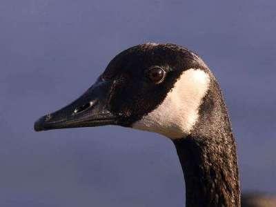 Canada Goose (Branta canadensis) by Ian
