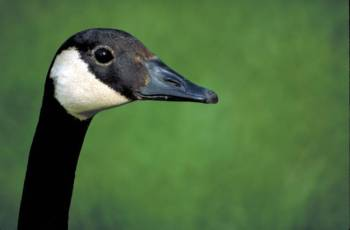 Canada Goose (Branta canadensis) ©USFWS