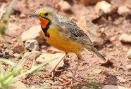 Cape Longclaw (Macronyx capensis) ©WikiC