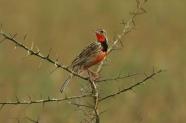 Rosy-throated Longclaw (Macronyx ameliae) ©WikiC