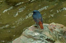 Luzon Water Redstart