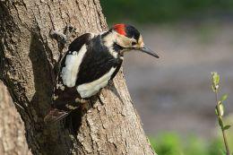Birds of the Bible – Mountain Bird's Majestic CedarIV