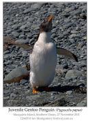 Gentoo Penguin (Pygoscelis papua) Juvenile by Ian