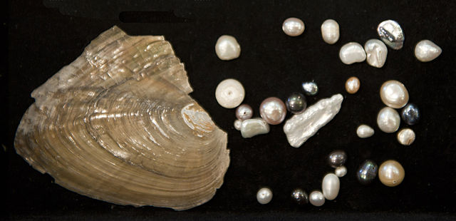 Freshwater clam with cultivated pearls ©WikiC