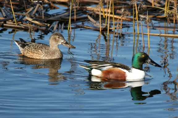NorthernShoveler.male-and-female
