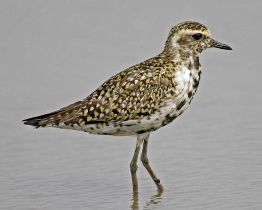 Pacific-Golden-Plover.NationalAudubonSociety