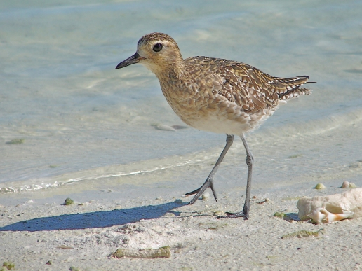 Pacific-Golden-Plover.NZ-Birds-Online