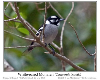 White-eared Monarch (Carterornis leucotis) © Ian