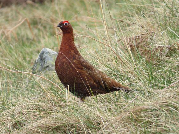 RedGrouse-Northumberland.HawsenBurn-wikipedia