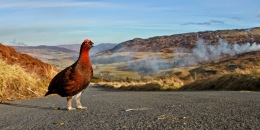 Moorfowl is Fair, in Highland Heather
