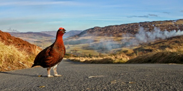 RedGrouse-on-Scottish-roadway.ScottishGamekeepersAssocn