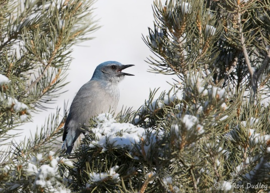 WesternScrubJay-PinyonPine-Snow.RonDudley