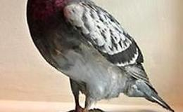 Carrier Pigeon Prompts Rescue of WWII  Airmen Floating in the North Sea, Despite Carrying No WrittenMessage!
