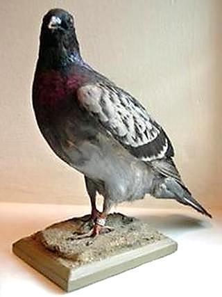 Winkie-carrier-pigeon-WWII.PublicDomain