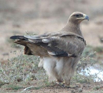 Steppe Eagle (Aquila nipalensis) by Nikhil Devasar
