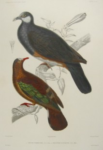 Stephan's Emerald Dove (Chalcophaps stephani) ©Drawing WikiC
