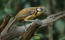 Greater Necklaced Laughingthrush and the Lesser