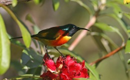 Green-tailed Sunbird – Wordless Bird