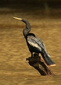 Anhinga-perching.Wikipedia