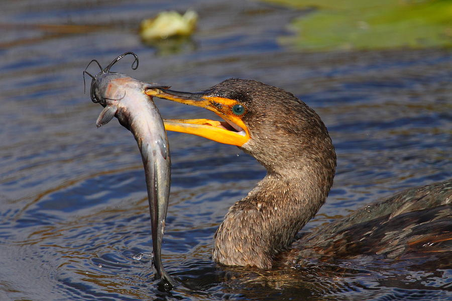 Cormorant-Doublecrested-fishing.Bruce-J-Robinson-photo