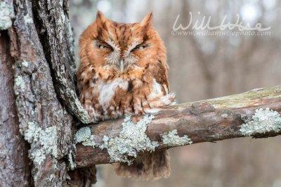 Eastern Screech Owl (Megascops asio) ©williamwisephoto.com