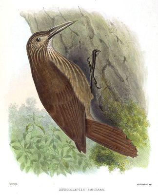 Strong-billed Woodcreeper (Xiphocolaptes promeropirhynchus) ©Drawingi WikiC