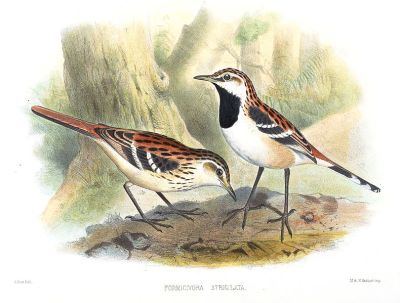 Stripe-backed Antbird (Myrmorchilus strigilatus) ©Drawing WikiC