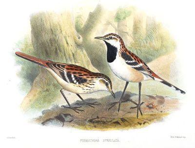 Stripe-backed Antbird (Myrmorchilus strigilatus) ©Drawing WikiC