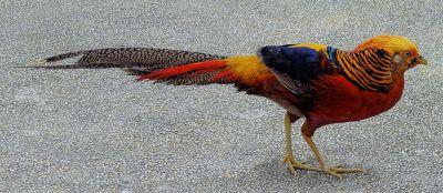 Golden Pheasant (Chrysolophus pictus) Walking ©WikiC
