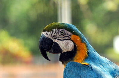MaCaw by Dan at Gatorland