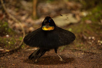 Western Parotia (Parotia sefilata) ©NatGeo