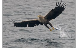 Ian's Bird of the Moment – White-tailed (Sea) Eagles