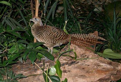 Lady Amherst's Pheasant (Chrysolophus amherstiae) Female ©WikiC