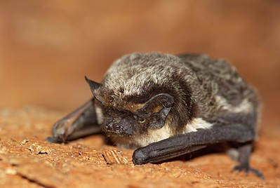 Parti-colored Bat (Vespertilio murinus) ©Flickr Rudo Jurecek