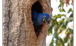 Ian's Bird of the Moment – HyacinthMacaw