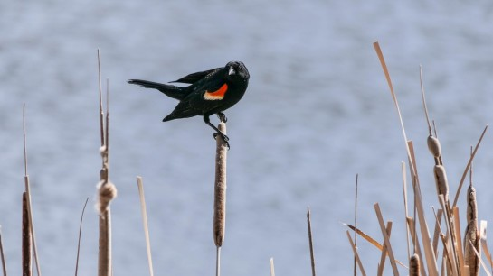 redwing-blackbir-atop-cattail.EvergreenStateCollege-photo