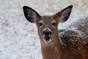Deer Looking at Tilly ©CC