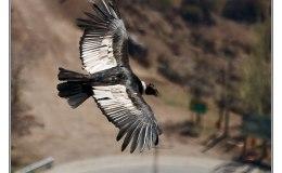 Ian's Bird of the Moment – AndeanCondor