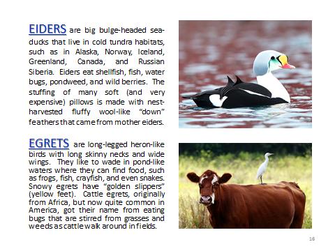 BAW-Eiders-Egrets