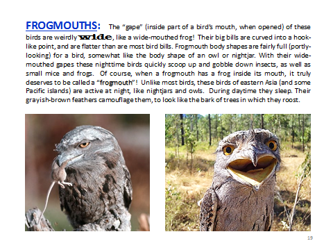 BAW-Frogmouths
