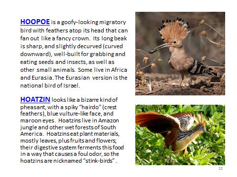 BAW-Hoopoe-Hoatzin