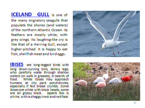 BAW-IcelandGull-Ibis