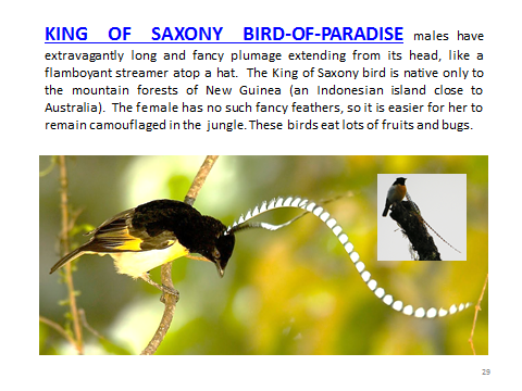 BAW-King-o-Saxony-Bird-o-Paradise