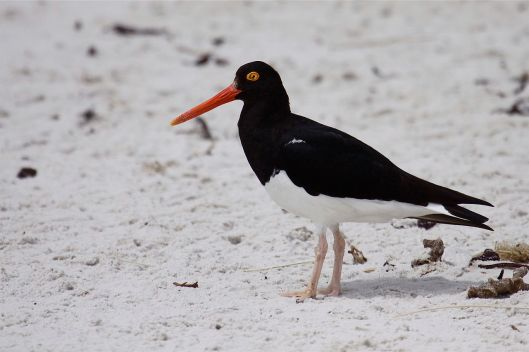 BAW-MagellanicOystercatcher-white-sand