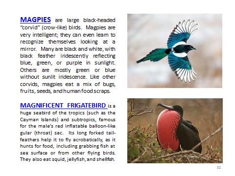 BAW-Magpie-MagnificentFrigatebird