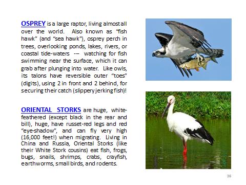 BAW-Osprey-OrientalStork