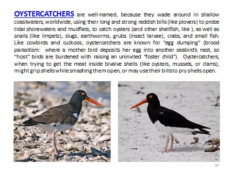 BAW-Oystercatcher