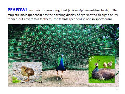 BAW-Peafowl
