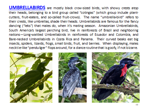 BAW-Umbrellabird